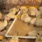 2020アイガモが育てるお米づくりスタート!三門農園にアイガモの赤ちゃんがきました!